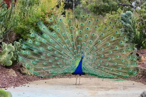 A beautiful peacock my son and I met while visiting the Los Angeles Arboretum & Botanic Garden