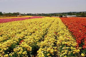 Stopping to smell the flowers at the Flower Fields of Carlsbad (San Diego)